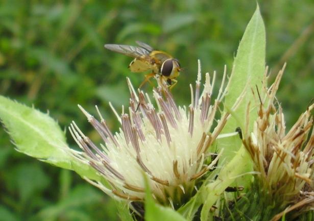 Nogle er nemmere at angribe end andre, dette lille insekt havde mærkbare  problemer med at få fat i nektaren, som lå dybt nede i blomsten, ...
